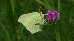 Zitronenfalter (ursula.kluck) Tags: macro butterfly lila gelb nahaufnahme zitronenfalter flockenblume fluginsekt