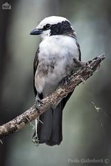 Averla groppabianca, Northern White-crowned Shrike, Eurocephalus rueppellii (paolo.gislimberti) Tags: tanzania tarangire uccelli birds ritrattoanimale animalportrait