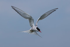 Artic Tern (Simon Stobart (back but busy)) Tags: tern flying artic hovering northeastengland