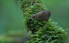 / Pygmy Wren Babbler / Pnoepyga pusilla (bambusabird) Tags: bird forest thailand nikon rainforest wildlife tropical chiangmai oriental babbler wrenbabbler bambusabird dotinthanon