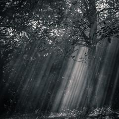 L'ombre des noyers (Kevin STRAGLIATI) Tags: light shadow sun sunlight tree nature leaves fog ray smoke walnut