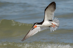 Black Skimmer (Noah Frade) Tags: coast summer outdoors blackskimmer florida marcoisland birding tigertailbeach bird wildlife beach waves nature natur avianexcellence animal aves