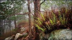 Basket fern
