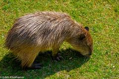 waterzwijn capybara (EdithK2008) Tags: capybara capibara waterzwijn