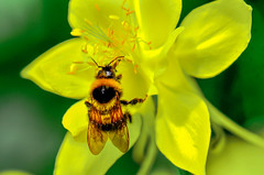 The Bee (Vladi Stoimenov) Tags: macro macrosandcloseup flowers insects nikon nikkor nikonlens nikond7000 perrrfect absolutelyperrrfect esenciadelanaturaleza
