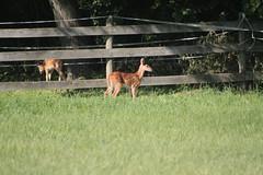 IMG_9088 (thinktank8326) Tags: nature wildlife deer spots fawn whitetaileddeer babyanimal