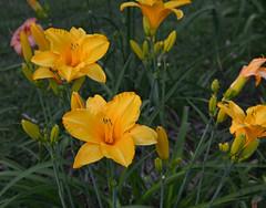 Hyper Orange (BKHagar *Kim*) Tags: flowers flower nature yard garden al lily blossom outdoor alabama lilies bloom tanner bkhagar