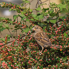 Bird and Berries (Treflyn) Tags: severn sparrow upon upton