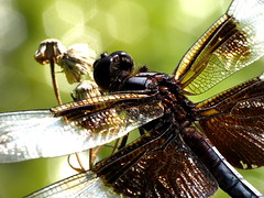 Dragonfly Macro (thatSandygirl) Tags: ohio summer macro nature animal insect dragonfly bokeh outdoor july depthoffield newark flyinginsect dawesarboretum raynox dcr150 canonpowershotsx10is
