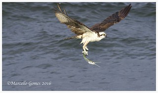 Osprey (Pandion haliaetus) OSPR - Fly Like an Eagle... Follow up shot showing that s/he was successful in catching it.