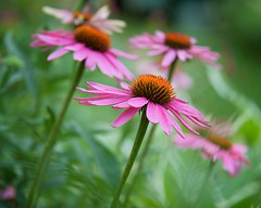 Echinacea in the Wind (The Good Brat) Tags: garden us echinacea co coneflower perennial