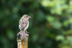 House Sparrow  |  Haussperling (abritinquint Natural Photography) Tags: bird vogel natural wildlife nature wild nikon d750 telephoto 300mm pf f4 300mmf4 300f4 nikkor teleconverter tc17eii pfedvr germany finch sparrow greenfinch garden garten perch