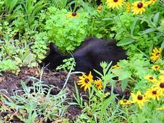 Cat Sleeping in a Bed of Clover (kengi2000) Tags: outdoor animal cat clover rudbeckia garden