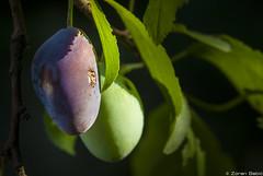 Hail survivor :) (Zoran Babich) Tags: plant macro plum croatia zagreb hr plums cityofzagreb