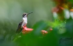 Hummingbird 7_25 2 (krisinct- Thanks for 12 Million views!) Tags: nikon d500 500 f4 vr g