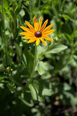 Blackeyed Susan (Danielle_M_Bedics) Tags: blackeyedsusan nature flower descansogardens