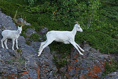 Dall Sheep Ewe & Lamb - Ewe Leaping The Gap (AlaskaFreezeFrame) Tags: dall dallsheep horns alaska alaskafreezeframe canon 70200mm outdoors nature wildlife mammals mountains fall climbing herbivores jumping leaping ewe lamb agile