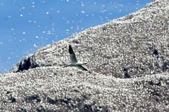 Fou de bassan devant Bass Rock (Fredww) Tags: scotland lothians bird gannet