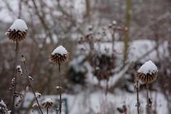ckuchem-1145 (christine_kuchem) Tags: blten eiskristalle frost garten kristalle nahrung naturgarten samenstnde stauden vogelnahrung vogelschutz vgel wildgarten winter wintergarten winternahrung naturbelassen naturnah natrlich reif schnee berzogen