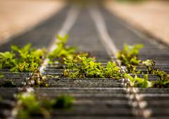 Freeing Green (Graydon Armstrong) Tags: toronto leaves 50mm grate macro serene growing life green depthoffield plants metal