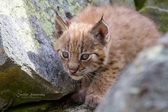 A hunter is born (nemi1968) Tags: canon canon5dmarkiii ef70200mmf28lisiiusm eurasianlynx gaupe langedrag lynx markiii norway adorable animal brother cat catfamily closeup cub cute cuteness eartufs eyes hunter kitten lynxcub lynxkitten nose portrait tiny whiskers specanimal ngc npc