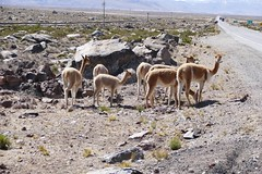 Vicuñas Alpacas Salinas y Aguada Blanca National Reserve Arequipa Peru (roli_b) Tags: vicunas vicuna vicuñas vicuña alpaca alpaka llama lama salinas y aguada blanca national reserve peru arquipa yura colca canon valley salinasyaguadablanca nationalparc parc park nationalreserve 2016 july street caretera strasse strassenrand animal tiere andes anden mountain berge hochplateau