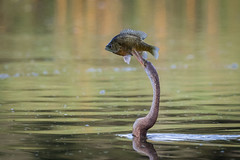 Snake Bit (gseloff) Tags: anhinga bird fishing perch wildlife horsepenbayou pasadena texas kayakphotography gseloff