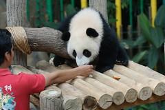 Nuan Nuan () 2016-06-16 (kuromimi64) Tags: zoonegara malaysia   zoo nationalzoo zoonegaramalaysia kualalumpur  bear   panda giantpanda     nuannuan