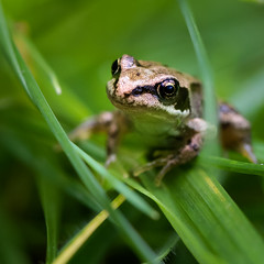 Wild Garden Frog (roseysnapper) Tags: nikkor105mmf28 nikond810 closeup depthoffield macro frog garden grass nature outdoor wild