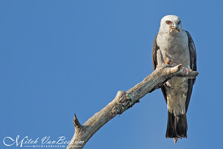 Mississippi Kite With Snack (Explored)