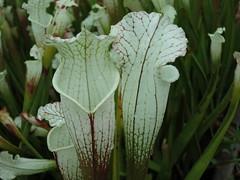 Sarracenia leucophylla Hurricane creek white Baldwin Co, AL (meizzwang) Tags: sarracenia leucophylla hurricane creek white baldwinco al hcw