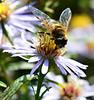 Taste of Nectar (Amberinsea Photography) Tags: fly bee flowerfly flower flowers macro macrophotography macrophoto beautiful summer nature amberinseaphotography sweden nikond3200 nikon