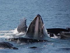 Humpback Whales bubble-net feeding (Ron's Aquarium Photos) Tags: whales mammals humpbackwhales bubblenetfeeding