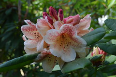 Peste's Firelight (David A's Photos) Tags: flowers bc columbia convention british ars sidney rhododendrons 2015 rhodies may2015 pestesfirelight
