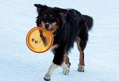Athos (Frank Talamini) Tags: dog shepherd australian australiano frisbee aussie pastore blacktri