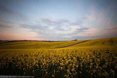 Beautiful yellow field landscape at sunset (nickolay_khoroshkov) Tags: sunset summer wallpaper cloud abstract tree green nature beautiful grass landscape evening countryside spring amazing scenery europe european waves czech cloudy farm awesome hill farming farmland rape southern agriculture grassland idyllic moravian rolling moravia