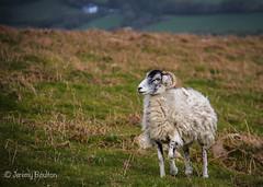 Ram (JKmedia) Tags: animals landscape sheep wildlife horns curly lamb lambs hillside ram dartmoor ivybridge canoneos7d livestocck boultonphotography