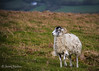 Ram (JKmedia) Tags: animals landscape sheep wildlife horns curly lamb lambs hillside ram dartmoor ivybridge canoneos7d livestocck boultonphotography