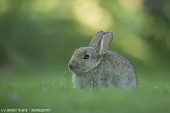 Rabbit Kit (Alastair Marsh Photography) Tags: rabbit animal animals mammal wildlife rabbits rabbitears mammals britishwildlife babyrabbit smallmammal smallmammals babyrabbits babymammal britishmammal britishmammals britishanimals rabbitkit rabbitkits britishanimal
