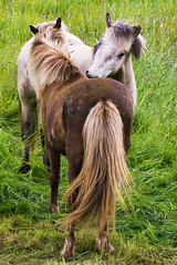 http://www.redbubble.com/people/dorabirgis/works/15093578-horses (Dóra B.) Tags: life horse cute nature animal garden iceland cool day earth summerfun akureyri dýr hestur canon7d dorabirgis icelandick
