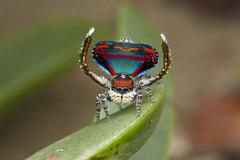 _X8A2289 peacock spider Maratus caeruleus (Jurgen Otto) Tags: