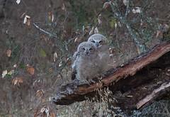 Little Fuzzballs - Great Horn Owl Twins (Atascaderocoachsam) Tags: birding owls birdwatcher owlets babygreathornowls