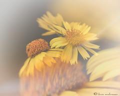 Wild Flowers (leendert3) Tags: flowers ngc npc sunrays5
