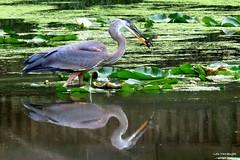 Great Blue Heron with Fish (Lois McNaught) Tags: greatblueheron heron fish bird avian nature wildlife outdoor summer pond reflection reflections hamilton ontario canada aquaticbird