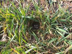IMG_1644 (JMarshall78) Tags: nests nest birds ornithology wildlife devon
