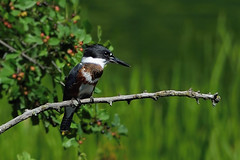 martin pcheur d'Amrique ---  belted kingfisher --- martn gigante norteamericano (Jacques Sauv) Tags: martin pcheur damrique belted kingfisher martn gigante norteamericano oiseau bird ave norte americano
