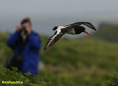 Skomer 1 - Oystercatcher (andywsx) Tags: wales canon eos oystercatcher pembrokeshire 70300 skomer 7dmk2