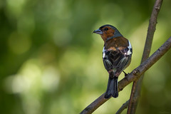 Common chaffinch... (Hans-Franz) Tags: bird bokeh oiseau fringillacoelebs vogel buchfink commonchaffinch pinsondesarbres canoneos7d ef70300mmf456lisusm