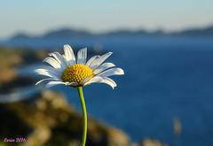 Alguien para deshojarla??  ....:) (loriagaon) Tags: sonydscrx10iii sonyrx10lll galicia pontevedra espaa macro loriagaon loria plantas plants flores flowers naturaleza nature rx10lll