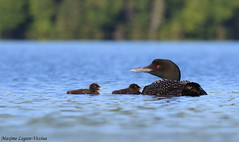 Plongeon huard / Common loon (Maxime Legare-Vezina) Tags: bird oiseau nature wild wildlife animal canon water reflection biodiversity fauna ornithology lake
